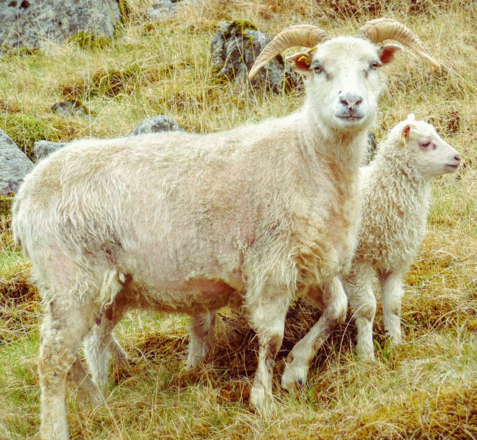 Isländisches Schaf